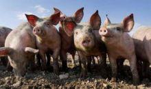 ANSVSA: Pesta porcină africană evoluează în 207 localităţi din 12 judeţe