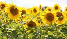 Cercetatorii americani au explicat procesul prin care floarea-soarelui se misca dupa Soare